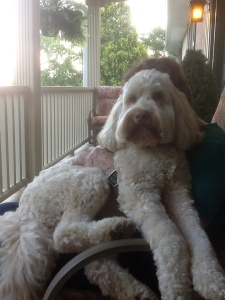 Foster, a white Labradoodle, all love and cuddles!
