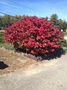 Bright flaming red bush on roadside