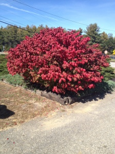 Bright flaming red bush on roadside